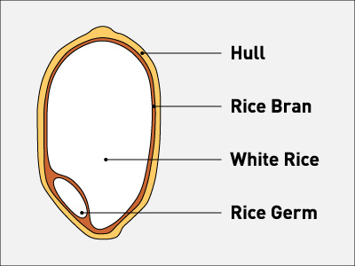 diagram parts of rice diagram parts of sternum